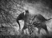 Salgado sloni